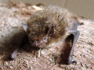 Visite guidée «A la découverte des chauves-souris de la côte basque rocheuse»